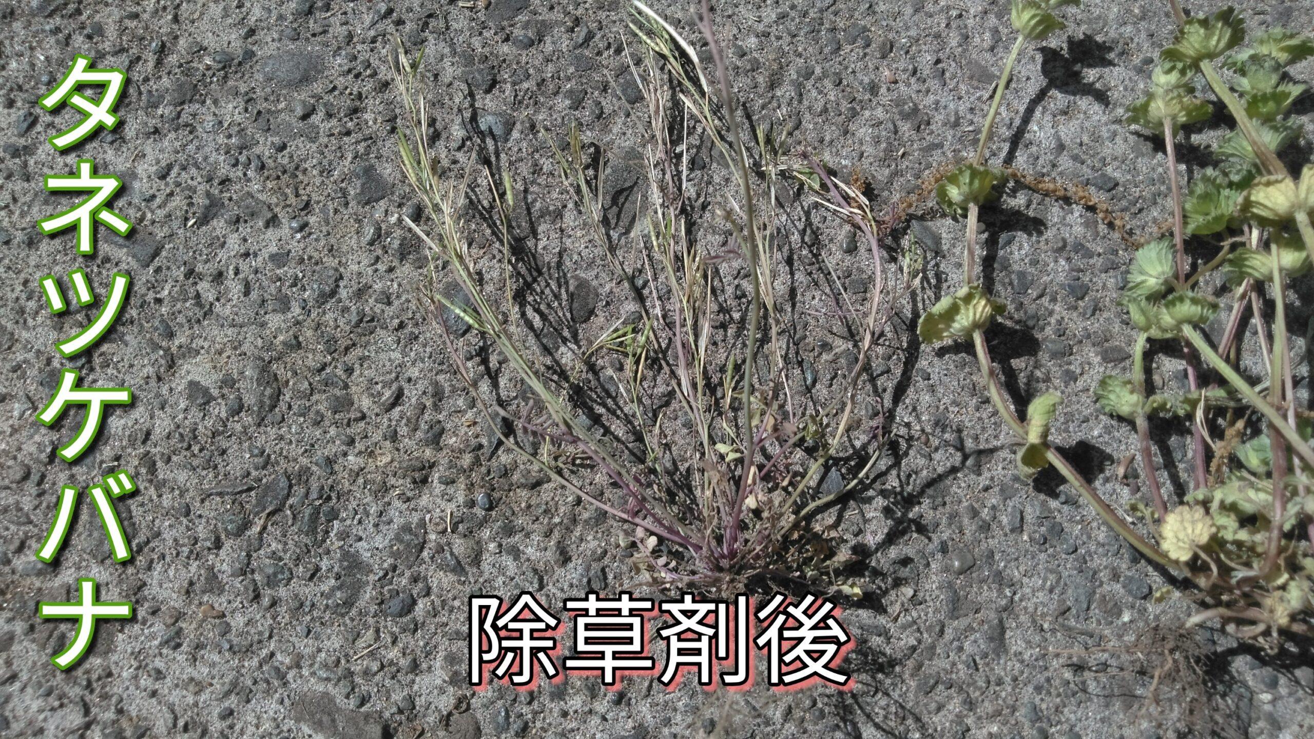 除草剤後のタネツケバナ